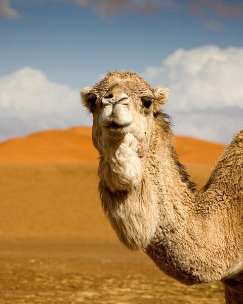 Camel_MG_2268_01.jpg